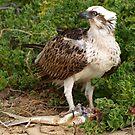 Osprey - Standing Proud by Jon Staniland
