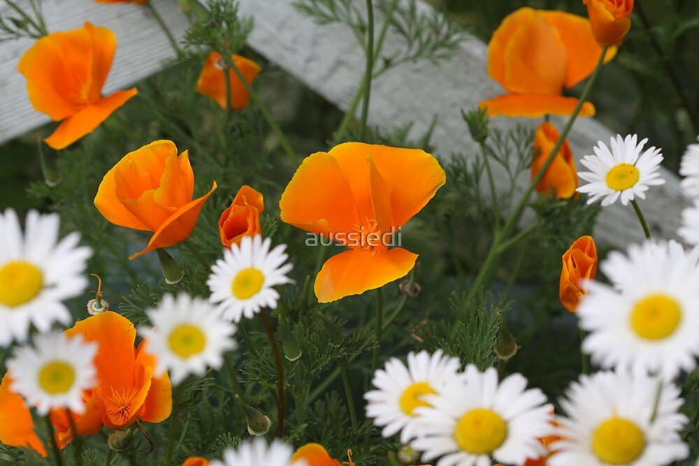 Poppies and Daisies by aussiedi