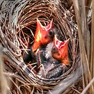 Baby Blackbirds by Larry Trupp
