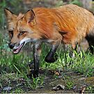 Red Fox by Anita Erdmann