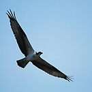 Soaring Mother Osprey by madman4
