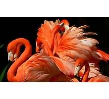 A Bouquet of Fluffy Flamingoes Photographic Print