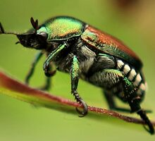 Japanese Beetle by Rachel Leigh