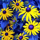 Blue Eyed Susan??? by Debbie Robbins