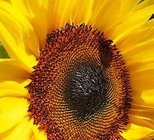 Sunflower (Helianthus annuus) close up by buttonpresser