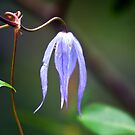 One last wild clematis in July by amontanaview