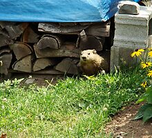 How Much Wood Can This Woodchuck Chuck? by Shelley Neff