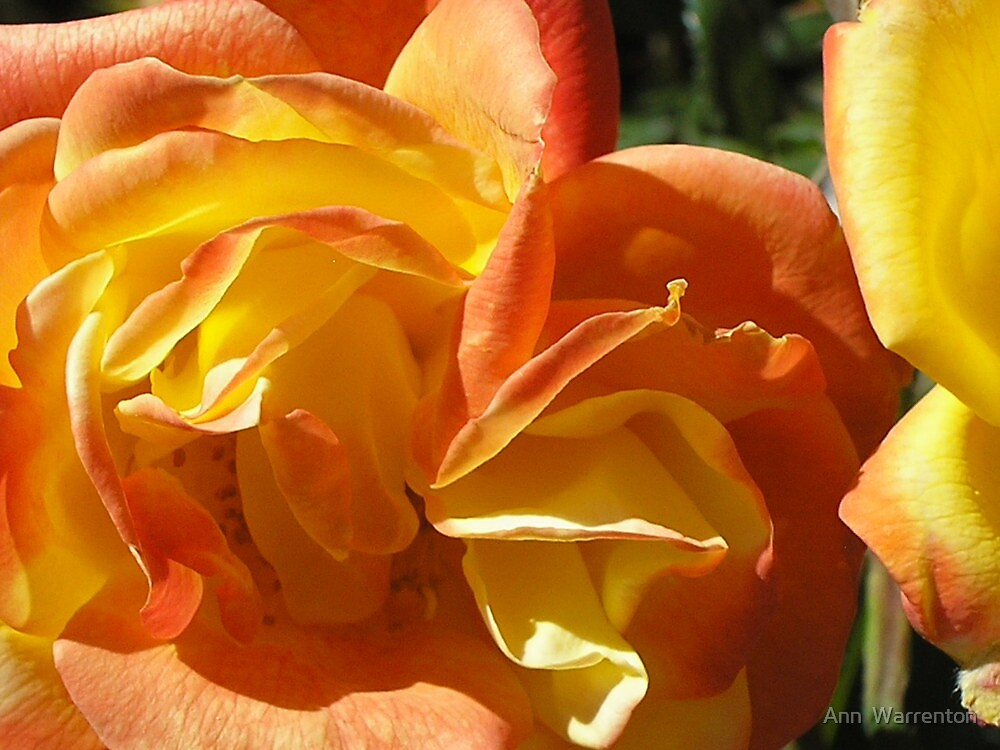 Sunset Rose by Ann  Warrenton