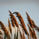 Marsh Reeds swaying in the wind by jeanlphotos