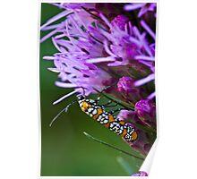 Ailanthus Webworm Moth on Liatris Poster