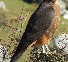 Falcon-Karearea - Endangered in New Zealand by AndreaEL