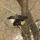 The bald eagle in colorado winter by jeff welton