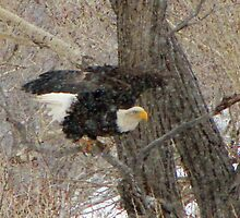 The bald eagle in Colorado snow #5 by jeff welton