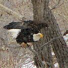 The bald eagle in colorado snow#6 by jeff welton