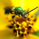 Green Metalic Bee by Dennis Stewart