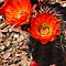 Orange Hedge Hog Cactus  by Saija  Lehtonen