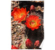 Orange Hedge Hog Cactus  Poster