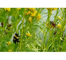 Bumble Bee Watching Bug Love Photographic Print