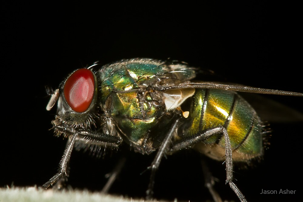 Green Blowfly by Jason Asher
