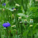 Cornflower by Bluesrose