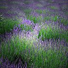 A FIELD OF LAVENDER by leonie7