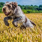 Italian Spinone by ncp-photography