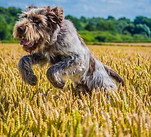 Leaping Italian Spinone by ncp-photography