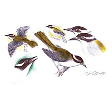 Strong-billed Honeyeater Photographic Print