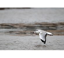 Silver Gull Photographic Print