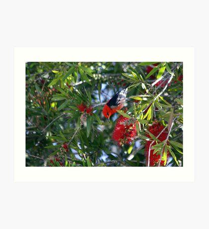 Scarlet Honeyeater Art Print