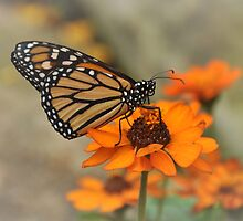 Orange is my color - Monarch by Poete100