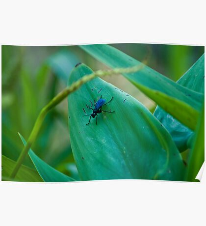 Wasp with blue-black wings Poster