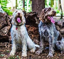 Spinone Friends forever by ncp-photography
