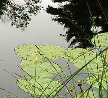 Bullhead-lilies ~ Sturbridge, Massachusetts by artwhiz47