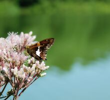 Silver-spotted Skipper by Aaron Campbell