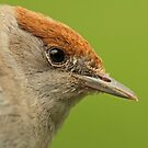 Female Blackcap by Robert Abraham