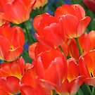 Chicago in Spring - Tulips  by Missy Yoder