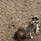 Meer Cats-At the Melbourne Zoo by judygal