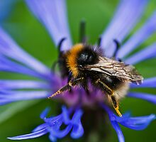 Busy Bee collecting Nectar  by Elaine123