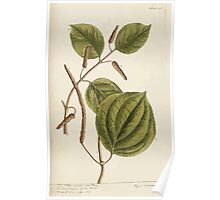 A curious herbal Elisabeth Blackwell John Norse Samuel Harding 1739 0266 Long Pepper of the Shops Poster