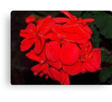 Red geraniums against black Canvas Print