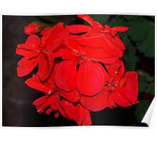 Red geraniums against black Poster