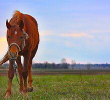 Horse Grazing in field  by a1luha