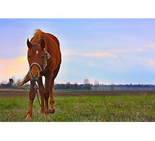 Horse Grazing in field  Photographic Print