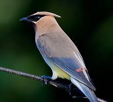 Cedar Waxwing by bettywiley