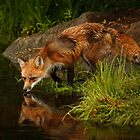 Red Fox Reflection by by M LaCroix