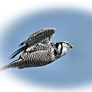 Northern Hawk Owl by by M LaCroix