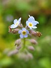 forget me not bokeh by millymuso