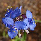 blue wildflower by jdadkin