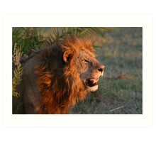 Male lion in botswana dusk( I am the still in control of this pride!) Art Print